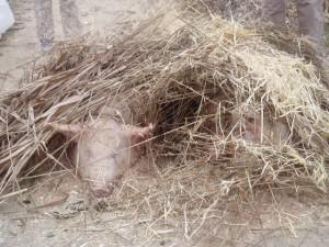montón de paja preparado para chamuscar cerdos