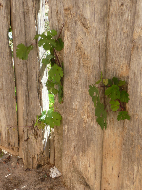 puerta de corral vieja con brotes de parra saliendo por entre las maderas