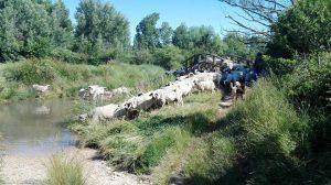 El rebaño atraviesa el puente japonés y enfila el camin, el pastor y los perros vigilan