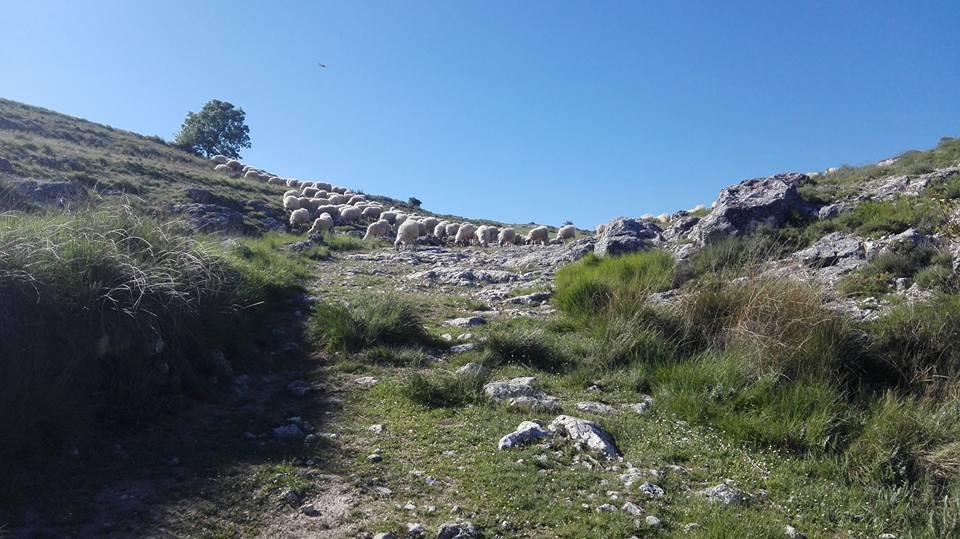 Rebaño en lo alto de una vereda serpenteada de blancas piedras