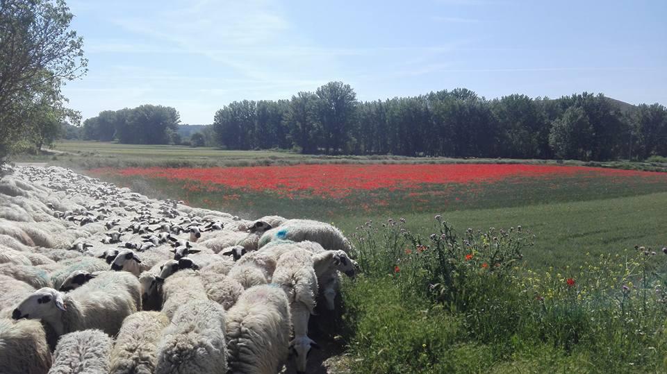 En primer término el rebaño, al fondo un rojo campo de amapolas, en medio el verde